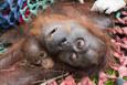 Anne orangutan ve bebeği böyle kurtarıldı