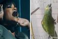 Rihanna'nın ses ikizi papağan
