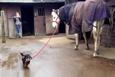 Minik köpek ve atın harika dostluğu