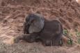 Sürüsünden dışlanan yavru filin en iyi arkadaşına bakın