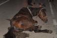 Doğum sancısı çeken at, kepçeyle doğuma götürüldü