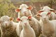 300 koyun verilecek çiftçi anneye sigorta