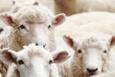 Hangi hayvanlar kurban olarak kesilmeye uygundur?