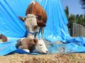 Çorum'da inek üçüz doğurdu görenler hayrete düştü