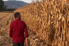 Tokat'ta tarladan mısırları çalanlar yakalandı