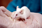 Felçli fareler kök hücre yöntemiyle yeniden yürüdü