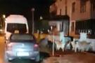 Köpekler sokakta yaban domuzu kovaladı
