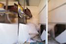 Polis şüphelenince! Yarış atının yanında bulundu