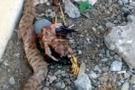 Batman'da öldürülen yılanın içinden bakın ne çıktı!