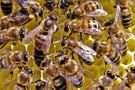 Arılar arıcıyı öldürdü! Ağaçtaki peteği alırken...