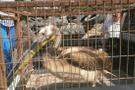 Amerika'da yaşayıp nesli tükenmekte olan hayvan Bursa'da çıktı