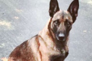Polis köpeğini ısıran adam tutuklandı!