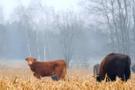 Özgürlük sevdalısı inek çiftlikten kaçıp bizonlara karıştı