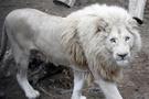 Beyaz aslan ülkeyi karıştırdı: Ünlü isimden tepki!