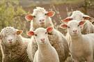 300 koyun 30 bin lira kar sağlayacak-yeni şartlar Tarım Bakanlığı açıkladı