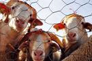 300 koyun başvurusu nasıl yapılır-Yeni yetiştirici kaydı açma