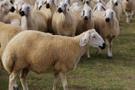 TİGEM 300 koyun alma başvurusu T.C ile giriş