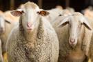 300 koyun alma şartlarına güncelleme Tarım Bakanlığı son haberi verdi