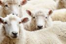 300 koyun alma şartlarına yeni düzenleme kimler destek alamayacak?