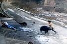 Yaban domuzu köyde dehşet saçtı: 1 ölü 1 yaralı