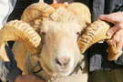 300 koyun alma başvurusu TİGEM kayıt için son saatler