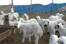 300 koyun başvuru sonuçları Tarım Bakanlığı-2018