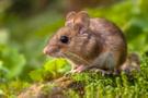 Demanslı farelerde bilişsel bozukluk ilaç tedavisiyle giderildi