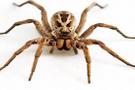 Et yiyen örümcek Sivas'ta ortaya çıktı