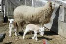 Koyun vebası nedir? Keçileri de etkilleyen veba bulaşıcı ve...