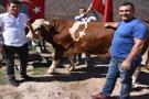 850 kiloluk ay-yıldızlı boğa Erdoğan'a hediye olarak külliyeye gidecek