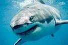Avustralya'da köpek balığı kadına saldırdı