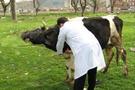 Sinopa 9 bin 946 şap aşısı yapıldı