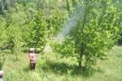 Kiraz sineği ile mücadele başladı