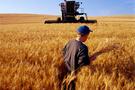 Kırşehir'de buğday hasadı başladı