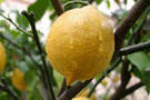 Limon karaborsaya düşünce rekor kırdı