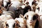 Kurbanlıklar hayvan pazarından kaçtı