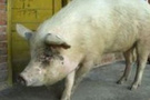 Turizm merkezinde kaçak domuz eti şoku!