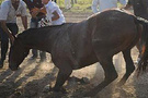Ayağı kırılan atı vahşice öldürdüler