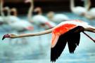 Kaz sanıp flamingoyu vurdu başı yandı