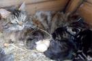 Kediyle tavuğun kuluçka nöbeti