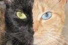 Bu kedi 'iki yüzlü'