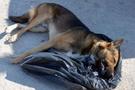 Belediyelere köpekleri öldürecek yetki