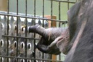 Şempanzeye yasal kişi statüsü talebi
