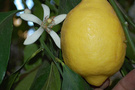 Limon fiyatlarında düşüş beklentisi yok