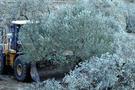 6 bin zeytin ağacının cezası belli oldu!