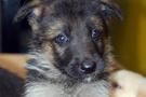Yavru köpek ölen sahibini bekledi