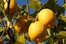 Mersinde limon fiyatları yükseldi