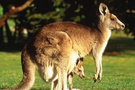 Ninja girdi sandı kanguru çıktı