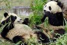 Çinli pandalar Tayvanı fethe gitti
