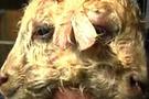 Şimdi de iki yüzlü kuzu doğdu